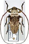 Lochmaeocles zonatus, ♂, Onciderini, Trinidad