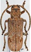 Homelix cribratipennis, ♀, Phrynetini, Burundi