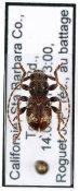 Ipochus fasciatus, ♀, Parmenini, Continental United States