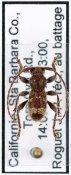 Ipochus fasciatus, ♂, Parmenini, Continental United States