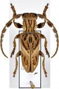 Mallonia pauper, ♂, Neopachystolini, Cameroon