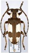 Mimocalothyrza bottegi, ♀, Neopachystolini, Ethiopia