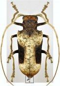 Petrognatha gigas, ♀, Petrognathini, R. D. Congo