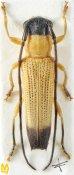 Nupserha fuscoapicalis ♀, Phytoeciini, Assam