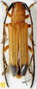 Nupserha lenita ♀, Phytoeciini, Uttarakhand