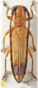 Nupserha lenita ♂, Phytoeciini, Uttar Pradesh
