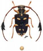 Phacellus plurimaculatus, ♂, Phacellini, French Guiana