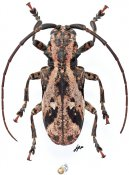 Phryneta coeca coeca, ♀, Phrynetini, Gabon