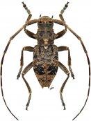 Pseudobrimus nigrovittatus, ♂, Phrissomini, Tanzania