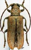 Brachytritus hieroglyphicus, ♀, Phrynetini, R. P. Congo