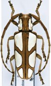 Calothyrza pauli, ♀, Phrynetini, Somalia