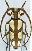 Calothyrza pauli ♀, Phrynetini, Tanzania