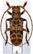 Eurysops esau, ♂, Phrynetini, Ivory Coast