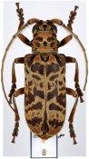Eurysops esau, ♀, Phrynetini, Ivory Coast