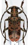 Eurysops similis, ♂, Phrynetini, Ivory Coast