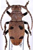 Herophila tristis tristis ♀, Phrissomini, France