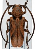 Homelix arcuata, ♂, Phrynetini, Sierra Leone