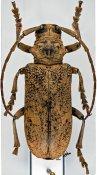 Homelix klingi, ♀, Phrynetini, Togo