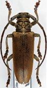 Paromelix unicolor pattersoni ♂, Phrynetini, Ivory Coast