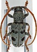Phryneta luctuosa luctuosa, ♂, Phrynetini, Cameroon