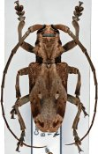 Phryneta coeca coeca, ♂, Phrynetini, Cameroon