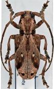 Phryneta coeca coeca, ♀, Phrynetini, Togo