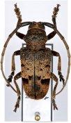 Phryneta sp., ♂, Phrynetini, R. D. Congo