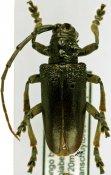 Phryneta ellioti, ♀, Phrynetini, Burundi