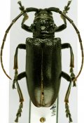Phryneta ellioti, ♂, Phrynetini, R. D. Congo