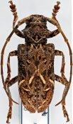Phrynetopsis fuscicornis, ♀, Phrynetini, Cameroon