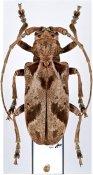 Phryneta hecphora, ♀, Phrynetini, Togo