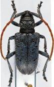 Phryneta immaculata, ♀, Phrynetini, R. D. Congo