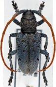 Phryneta immaculata, ♂, Phrynetini, Rwanda