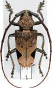 Phryneta leprosa, ♂, Phrynetini, Cameroon