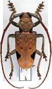 Phryneta leprosa, ♂, Phrynetini, Ivory Coast