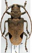 Phryneta leprosa, ♀, Phrynetini, Togo