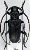 Phryneta luctuosa luctuosa ♂, Phrynetini, Bioko