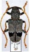 Phryneta macularis, ♀, Phrynetini, R. D. Congo