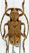 Phryneta obliquata, ♂, Phrynetini, Kenya