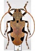 Phrynetoides regius ♀, Phrynetini, Cameroon