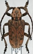 Phryneta obesa ♂, Phrynetini, Zambia