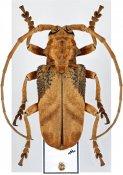 Phryneta semirasa ♂, Phrynetini, Zambia