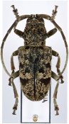 Phryneta luctuosa luctuosa ♀, Phrynetini, Ivory Coast