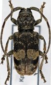 Phryneta luctuosa silacea, ♀, Phrynetini, Togo