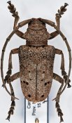 Phryneta spinator, ♂, Phrynetini, Cameroon