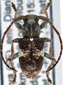 Stixis punctata, ♂, Phrissomini, Kenya