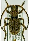 Trichophantasis subtuberculata ♂, Phantasini, Ethiopia