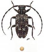 Exocentrus nonymoides, ♀, Exocentrini, Gabon