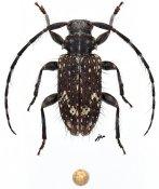 Exocentrus nonymoides, ♂, Exocentrini, Gabon