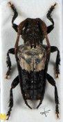 Pogonocherus dimidiatus ♂, Pogonocherini, Shanxi